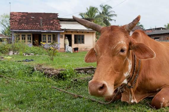 Enterprises Involving Cattle The Accidental Smallholder