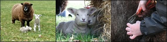 Introduction to sheep keeping course