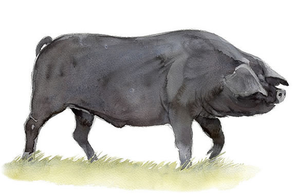 Painting of large black pig