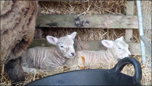 Lucy's lambs