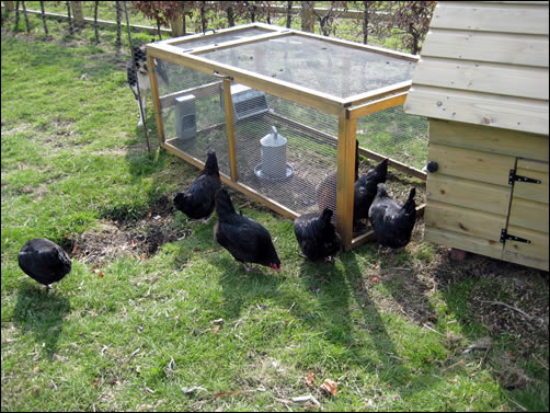 New black rock hens