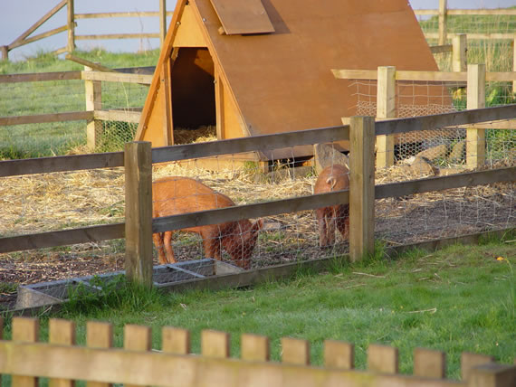 Land and fencing for pigs   The Accidental SmallholderPig fencing