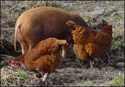Hens following the rootling pig