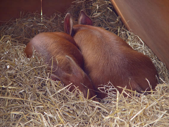 Pigs asleep in straw bed in ark