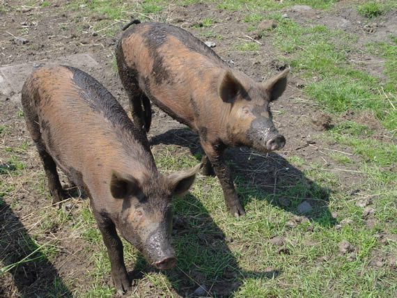Pigs after a good wallow