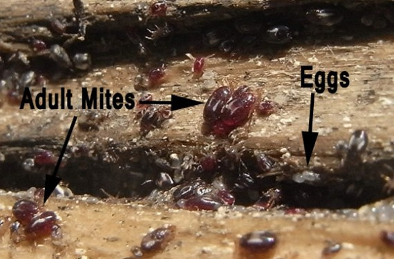 A close-up of rem mites and eggs