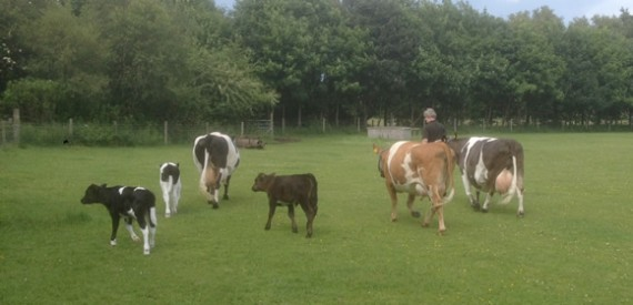 Rosedean Shetlands cows and calves