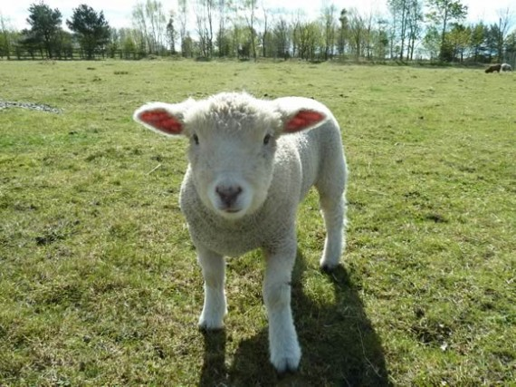 pictures of sheep and lambs year on a sheep farm national sheep
