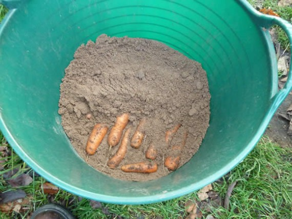Storing carrots in sand