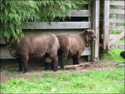 Tup lambs
